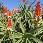 Aloe Arborescens foto