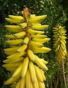 Aloe Vera fiore