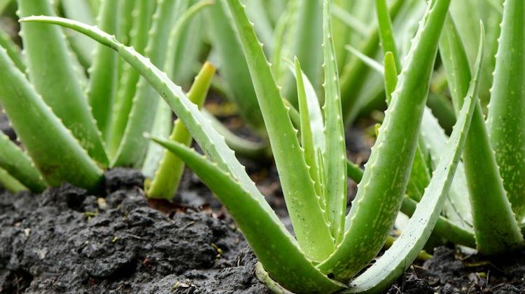 Aloe vera pianta come usarla per la salute e bellezza for Aloe vera coltivazione